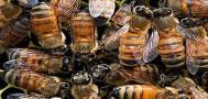 В Штатах на свободе оказались 20 миллионов пчёл